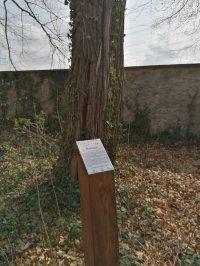 Informationstafel zum dahinter stehenden Baum des Jahres 2020 in Graupa