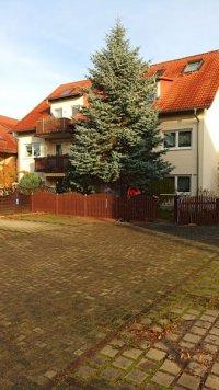 Der diesjährige Weihnachtsbaum steht noch im Grundstück in Pratzschwitz.